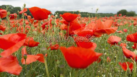 germania campo di fiori di papavero
