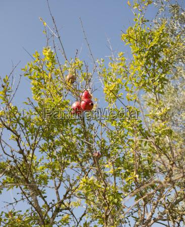 spain mallorca sineu pomegranate tree