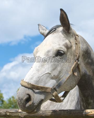germania assia cavallo grigio dapple primo