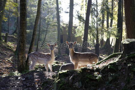 germania furth im wald daini al