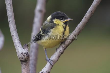 animale uccello nero ramo germania allaperto