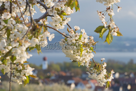germany cherry tree and church in