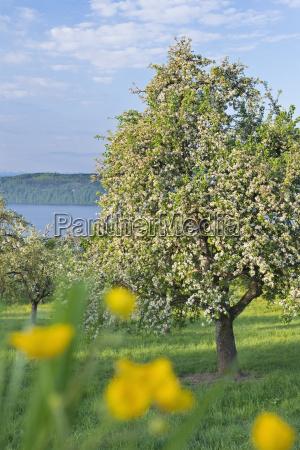 germany, , bavaria, , cherry, trees, in, blossom - 21111317