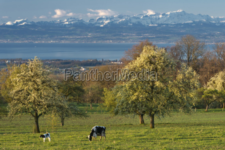 germany, , constance, , view, of, cows, grazing - 21112213