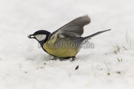 germania assia cinciallegra appollaiati sulla neve