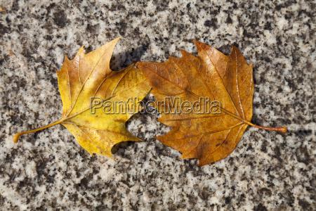 foglia marrone foglie autunnale germania allaperto