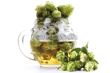 hop umbels in glass of beer