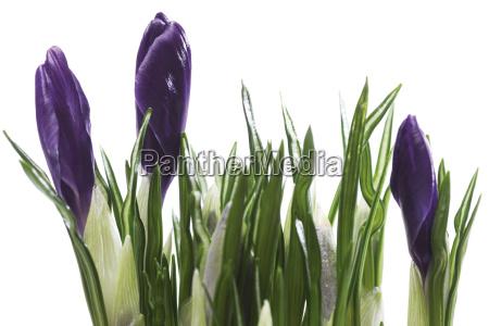 foglia primavera porpora crescita nessuno fioritura