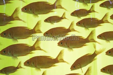pescare sipario bizzarro uguaglianza modello pesce