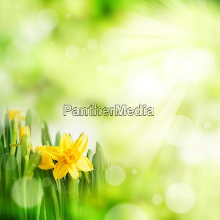 luce verde estate primavera giunchiglie fondale