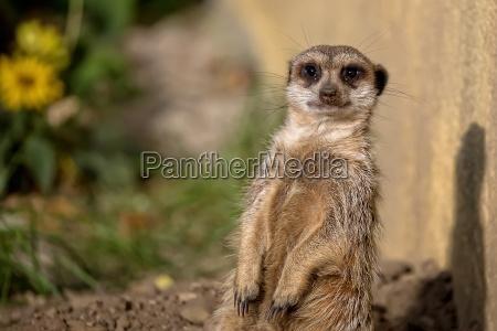 meerkat, in, natura - 21317848
