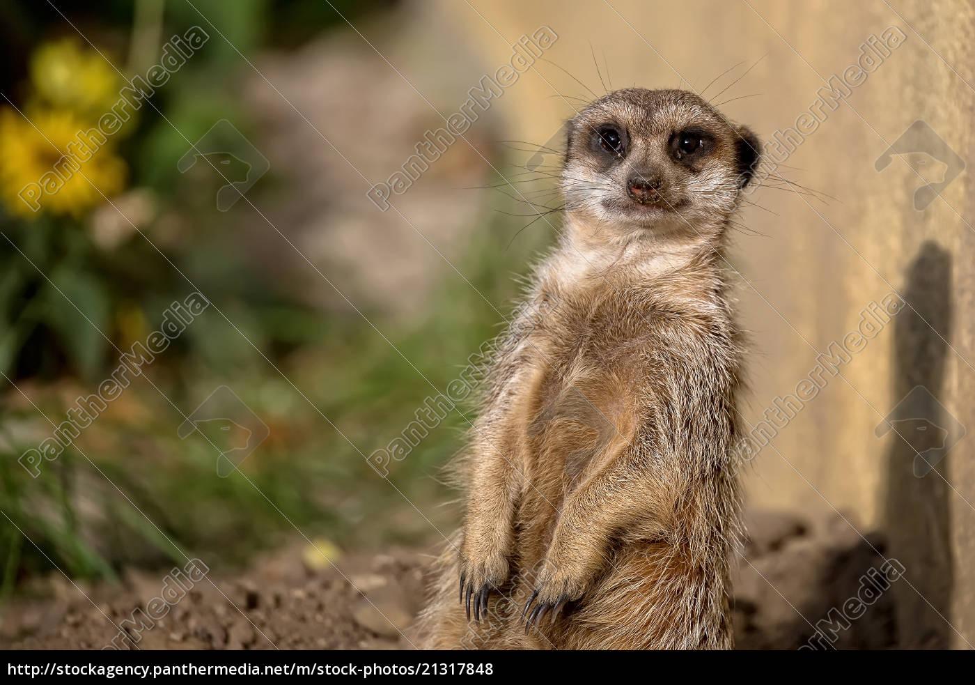 meerkat, in, the, wild - 21317848