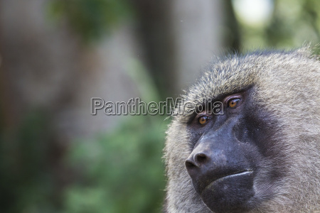 baboon parco nazionale di tarangire