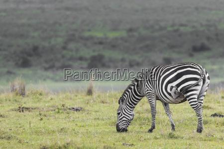 zebra nel parco nazionale africa kenya