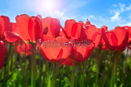 fiore fiori pasqua primavera tulipani festa