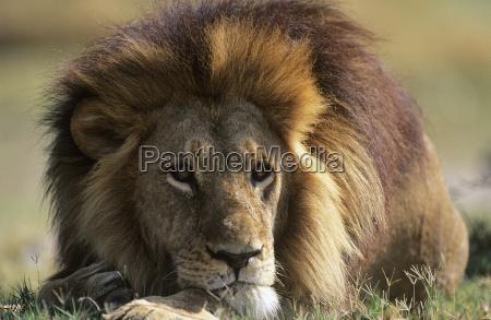 relax mammifero selvaggio africa savana leone