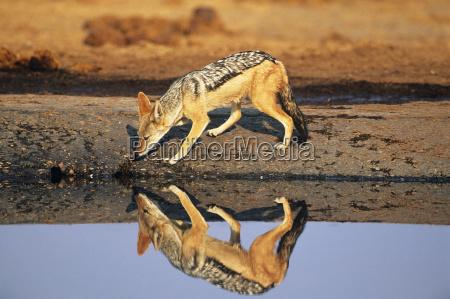 bere mammifero selvaggio africa riflesso pelliccia