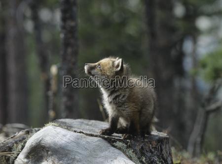 profilo mammifero legno europa svizzera allaperto