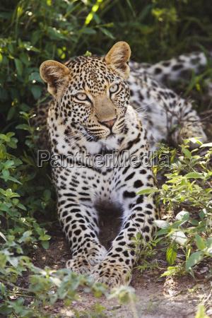 mammifero africa allaperto cespuglio natura giorno