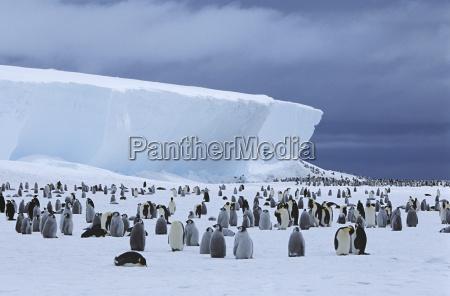 uccello freddo colonia pinguino allaperto natura