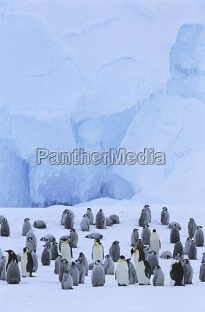 uccello freddo colonia pinguino allaperto in