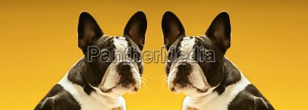 ritratto di bulldog francesi simmetrici su