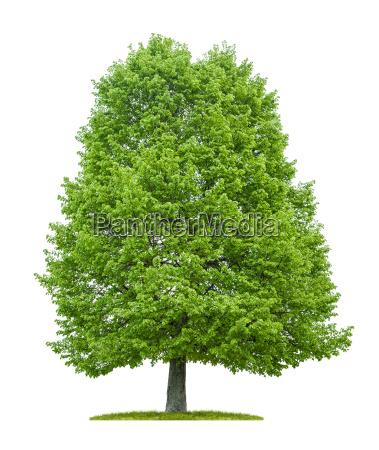 opzionale albero foglie albero caduco botanica
