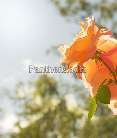 rose fiore condoglianze simpatia sfondo
