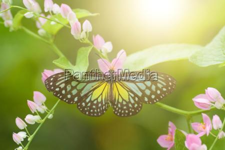 farfalla gialla tigre viglia