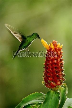 colibri brillante coronato di verde heliodoxa