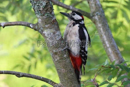 spotted, woodpecker, on, a, tree - 22193091