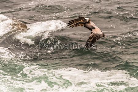 brown pelican landing in the pacific