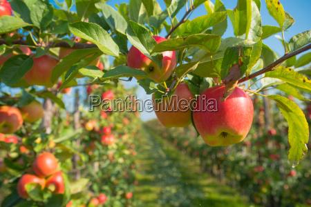 frutteto di mele prima della raccolta