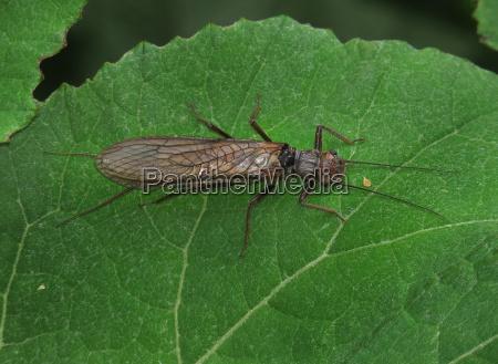 steinfliege stonefly diamphipnoa helgae auf petasites