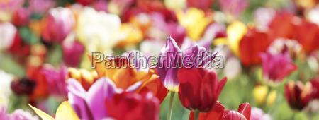 tulips colors colorful banner