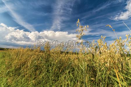 haferfeld im sommer bei blauem himmel