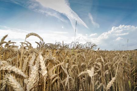 blu pane agricoltura estate grano whisky