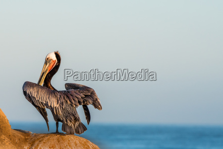 brown pelican perched on the cliffs