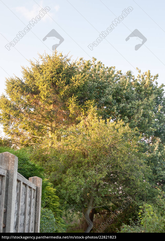 big, tree, in, back, garden, half - 22821823