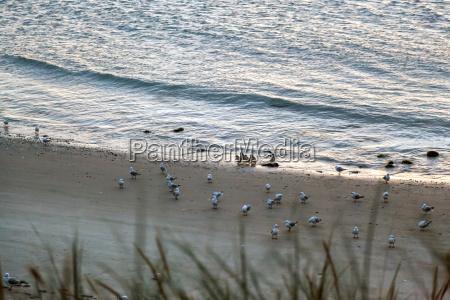 piccoli pinguini blu eudyptula minor coming