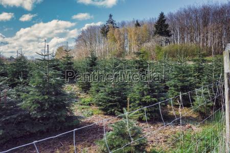 a tree farm growing christmas trees