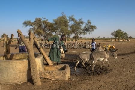 peul bestiame pastore utilizzando asini per