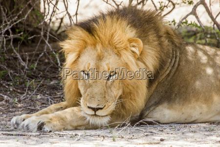 africa savana virile mascolino leone gatto