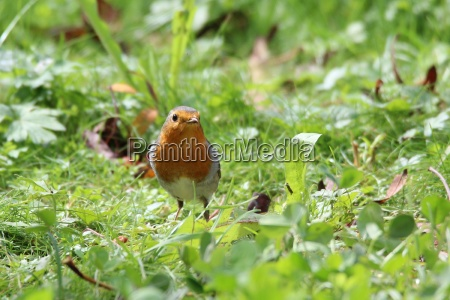 robin in the green grass