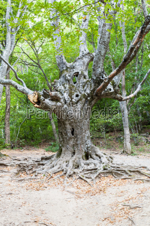 old tree in forest in haphal