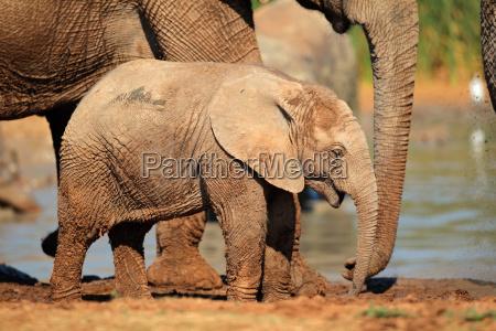 africa elefante natura sudafrica cucciolo bambino
