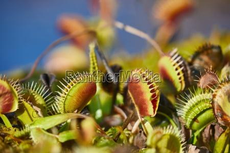 pianta carnivora carnivoro mangiare venere pianta