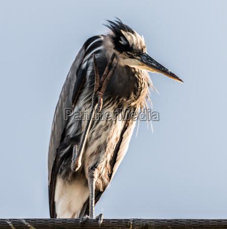 great blue heron thinking