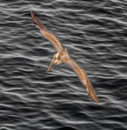 brown pelican soaring over the pacific