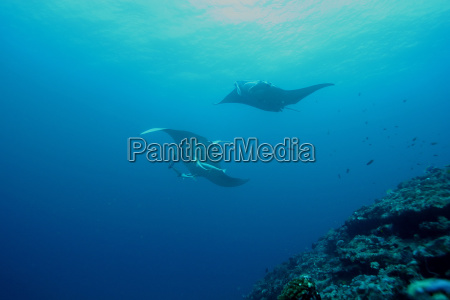 manta ray diving underwater isole galapagos